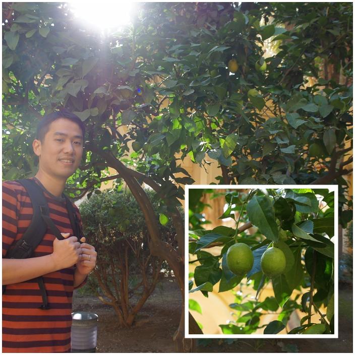 combine lemon tree